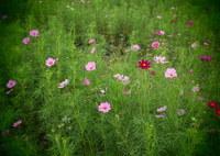 OLYMPUS E-PM2で撮影した(秋櫻の園)の写真(画像)