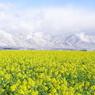 雪煙の比良山と、菜の花畑