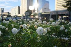 都会にバラの香り