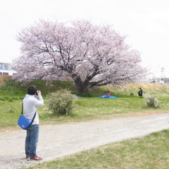 あの桜を撮る!