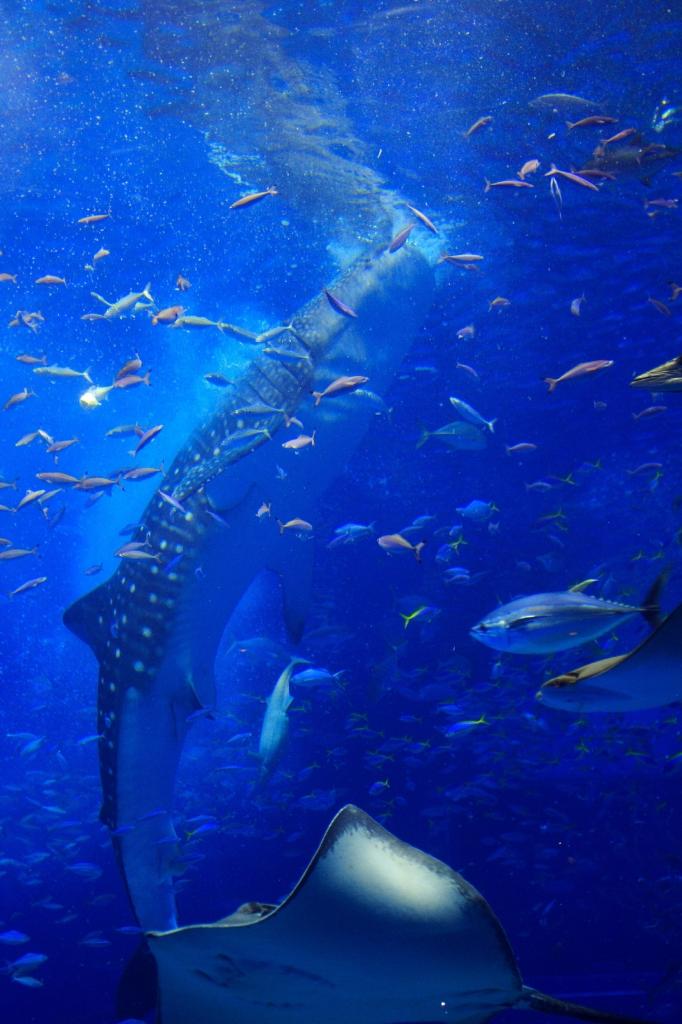 ジンベイザメの餌付け
