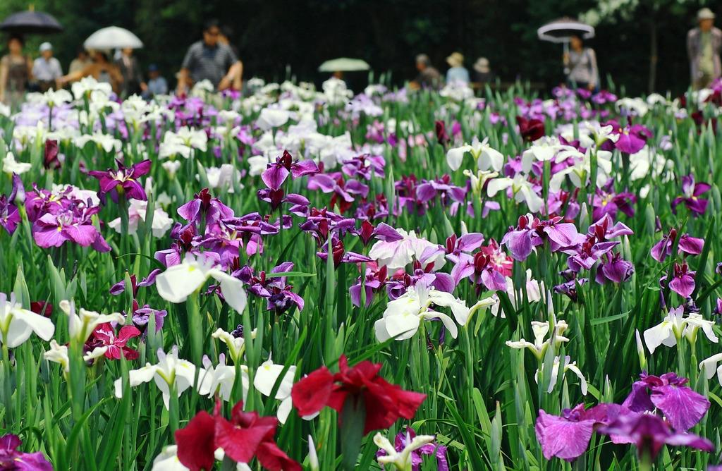 神楽女湖の花菖蒲
