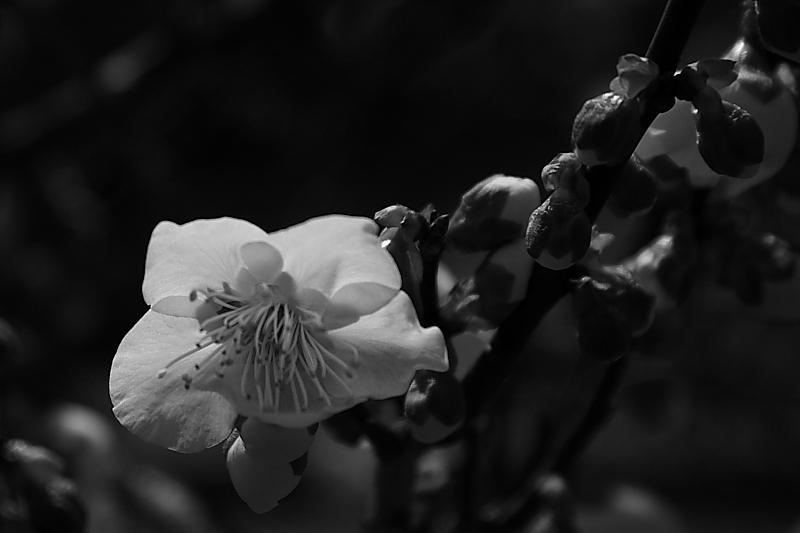 春の息吹(白梅)