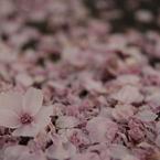CANON Canon EOS 40Dで撮影した植物(桜散る)の写真(画像)