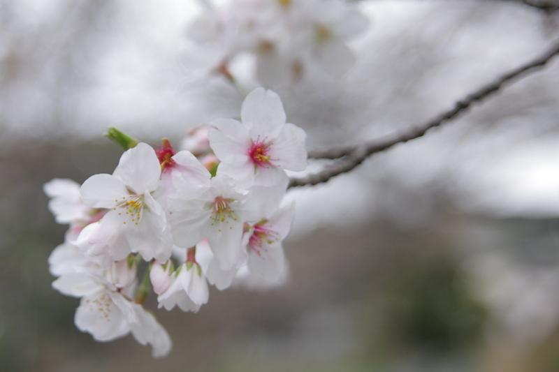 桜2009