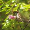 八重桜と…