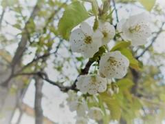 サクランボ花