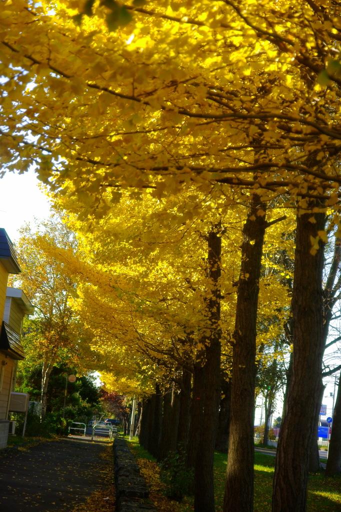 黄色に染まった銀杏並木
