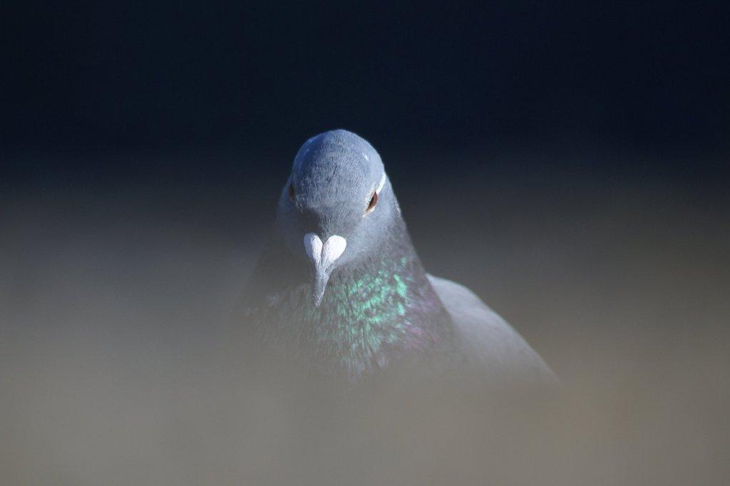 ポートレート 鳩