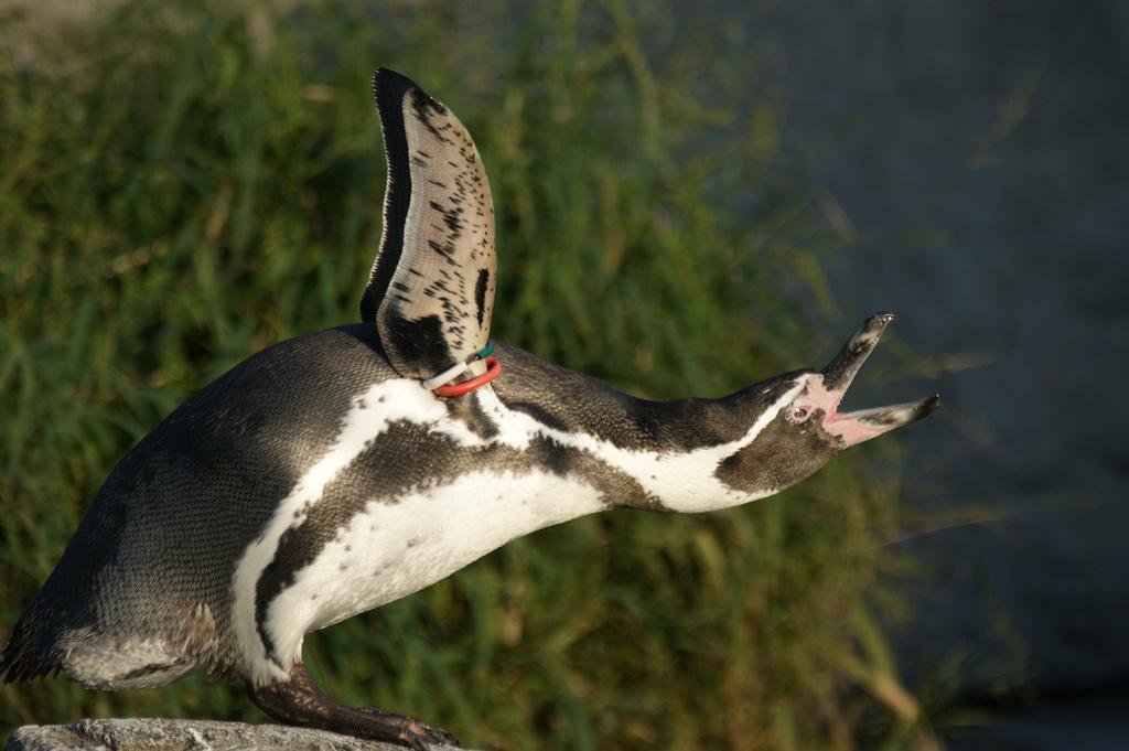 DSC06049 ペンギン