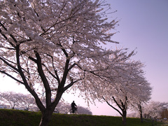 黄昏の桜並木