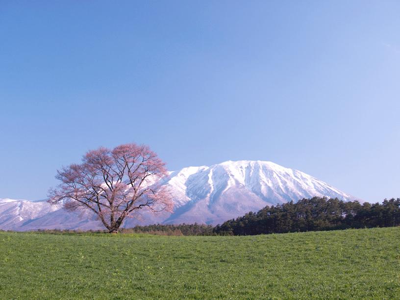 一本桜三分咲き