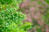紅葉-新緑のとき