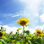 OLYMPUS E-M5で撮影した植物(僕が太陽!!(^O^) !!)の写真(画像)