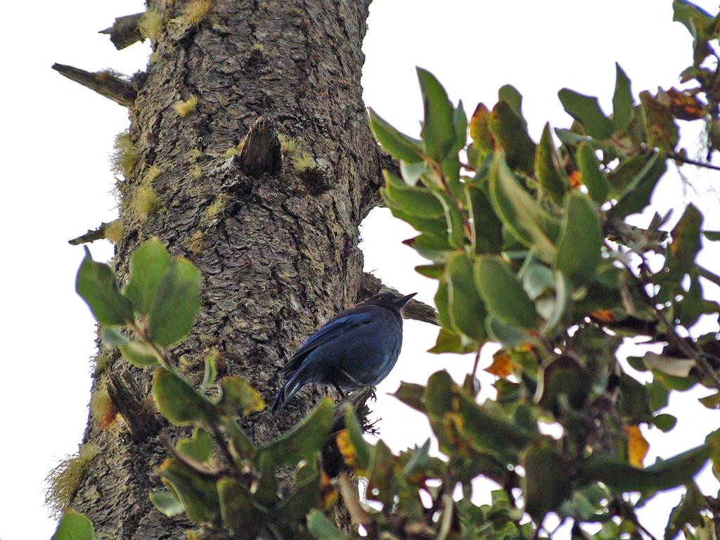 オレゴン青い鳥
