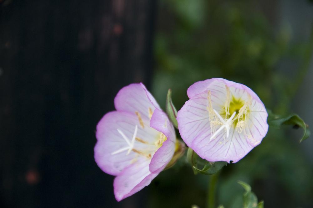 花粉の氷柱