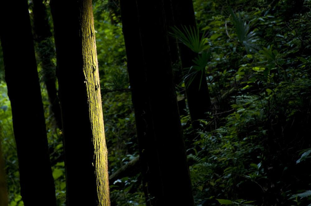 杉を照らす陽