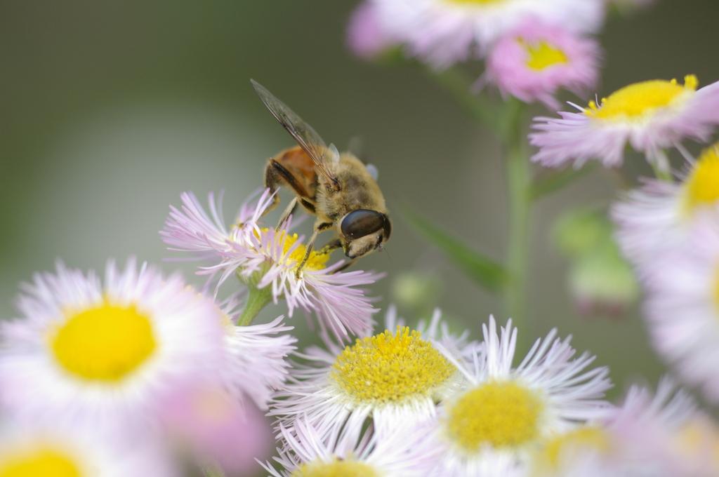 花と昆虫(ハルジオン)