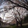 家の近くの桜並木