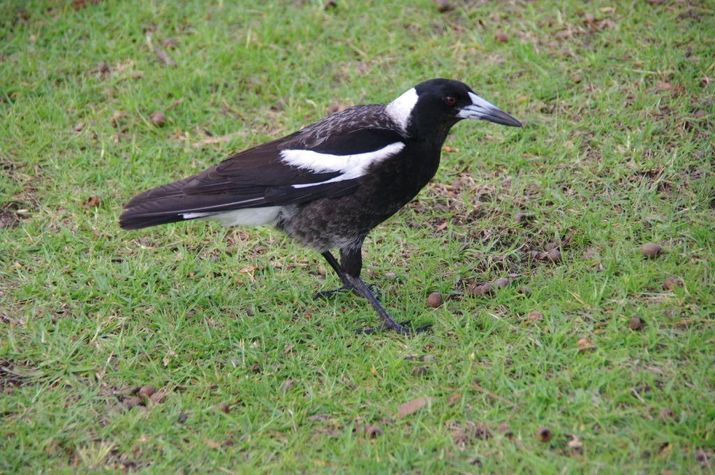 西オーストラリア で見た鳥 2