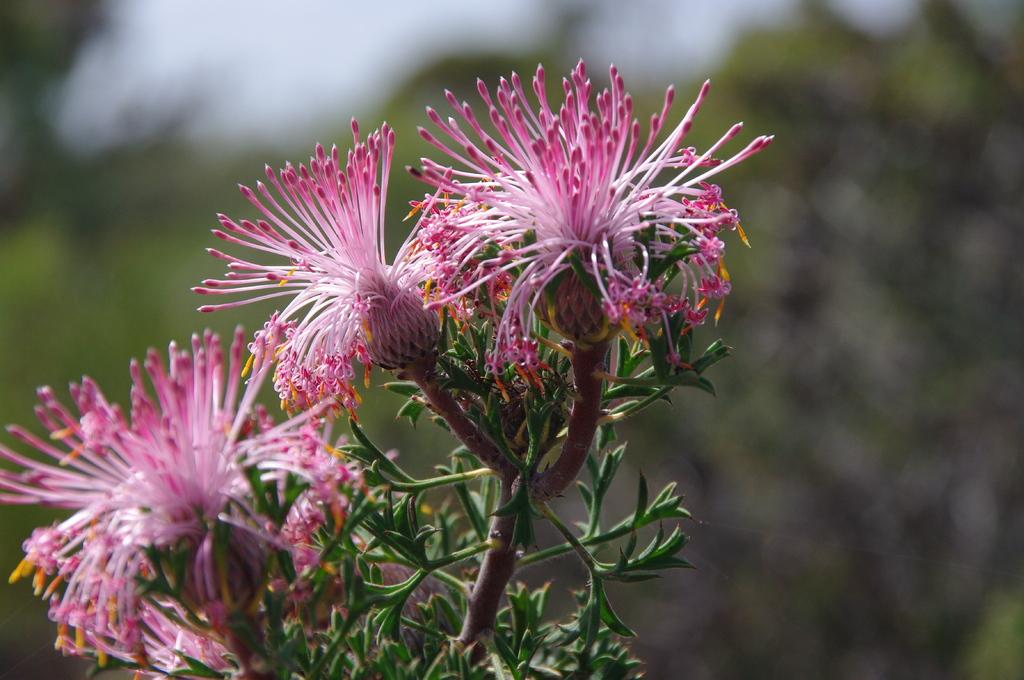 西オーストラリアの花