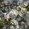 家の近くの桜