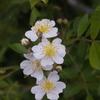 原種に近いバラ
