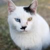 目の色の違う猫