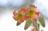 ベランダに咲いた多肉植物の花