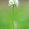 シロツメクサ(白詰草) 別名:クローバー まめ科