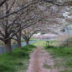 OLYMPUS E-P1で撮影した(桜のトンネル)の写真(画像)
