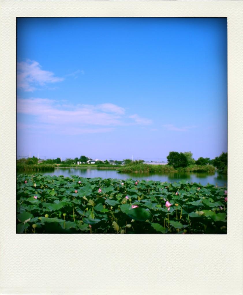 蓮池を眺めて