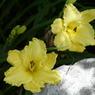 PANASONIC DMC-L1で撮影した植物(双子の花の影と光)の写真(画像)