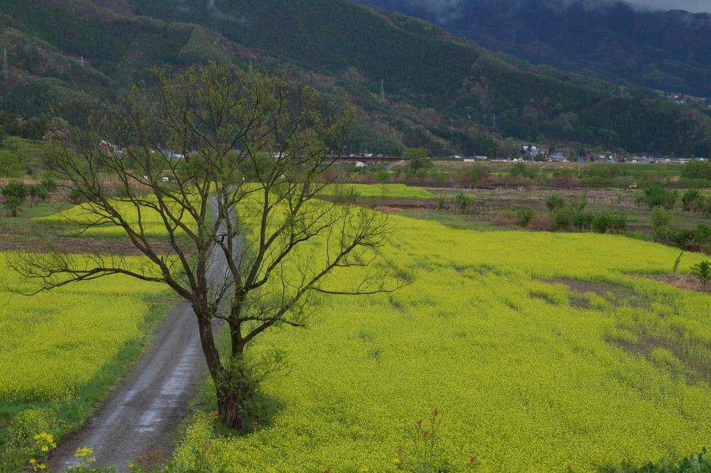 雨の菜の花畑