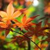 新緑紅葉5