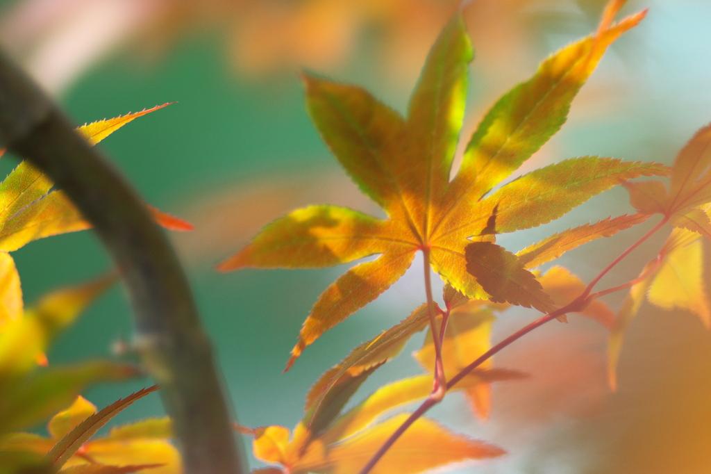 新緑紅葉3