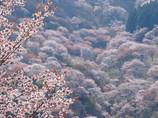 桜・サクラ