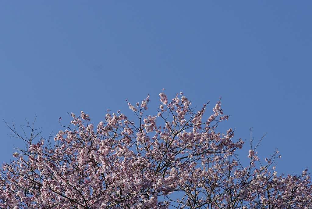 桜日和_IMG5370