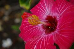 ハワイの花⑦