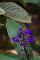 ハワイの花④
