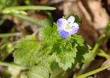 春告げ花②