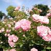 sky & rose