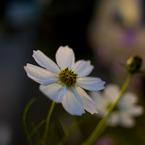 NIKON NIKON D80で撮影した植物(alone)の写真(画像)