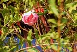 ピンクの薔薇とクコの実