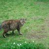 シロツメグサと猫