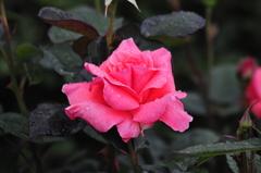 バラ雨の日