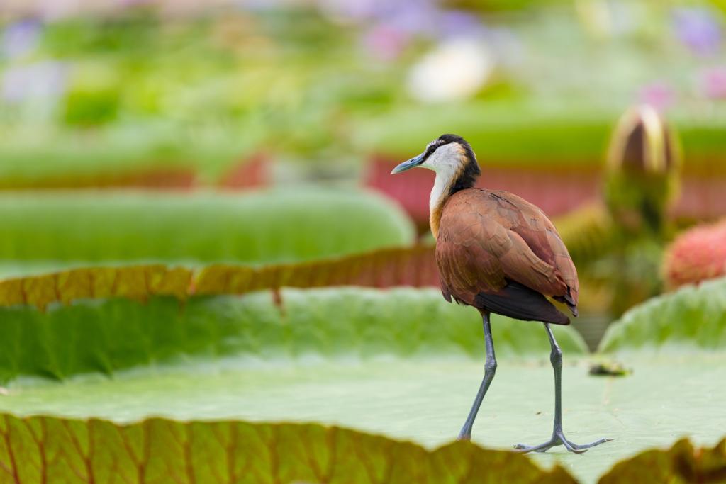 蓮の葉と水鳥