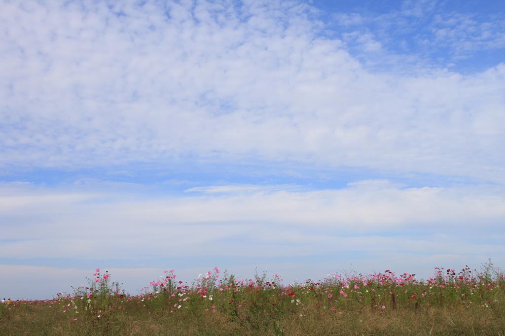 うろこ雲とコスモス