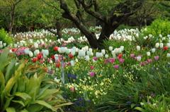 チューリップの庭