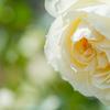 May Roses